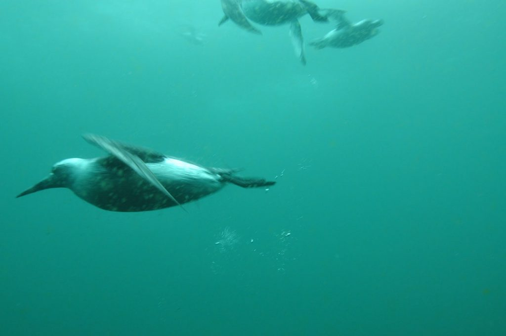 Guillemots diving in Grimsey Island